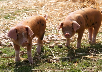 piglets at Hale Farm
